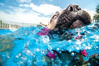 Connie the amazing Cane Corso :: Underwater Dog Days